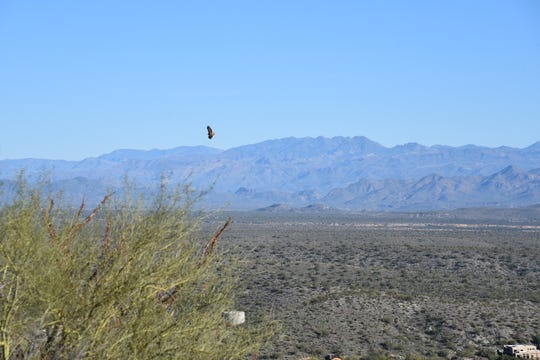A red-tailed hawk glides over the Verde River basin in Fountain Hills McDowell Mountain Preserve.