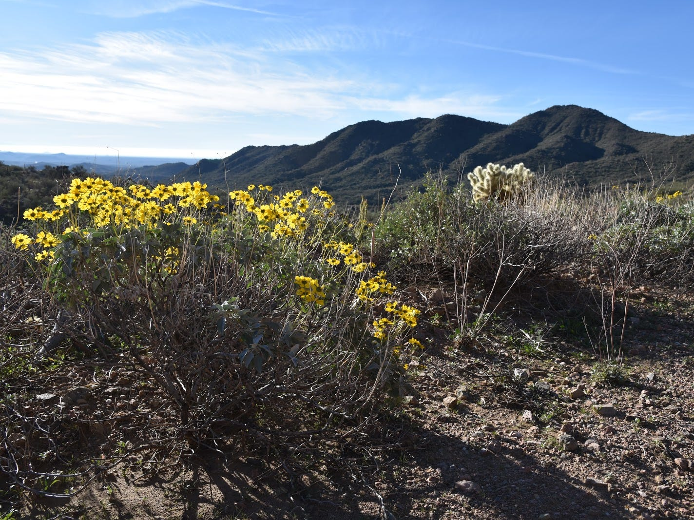 Brittlebush are prolific bloomers along the trails.