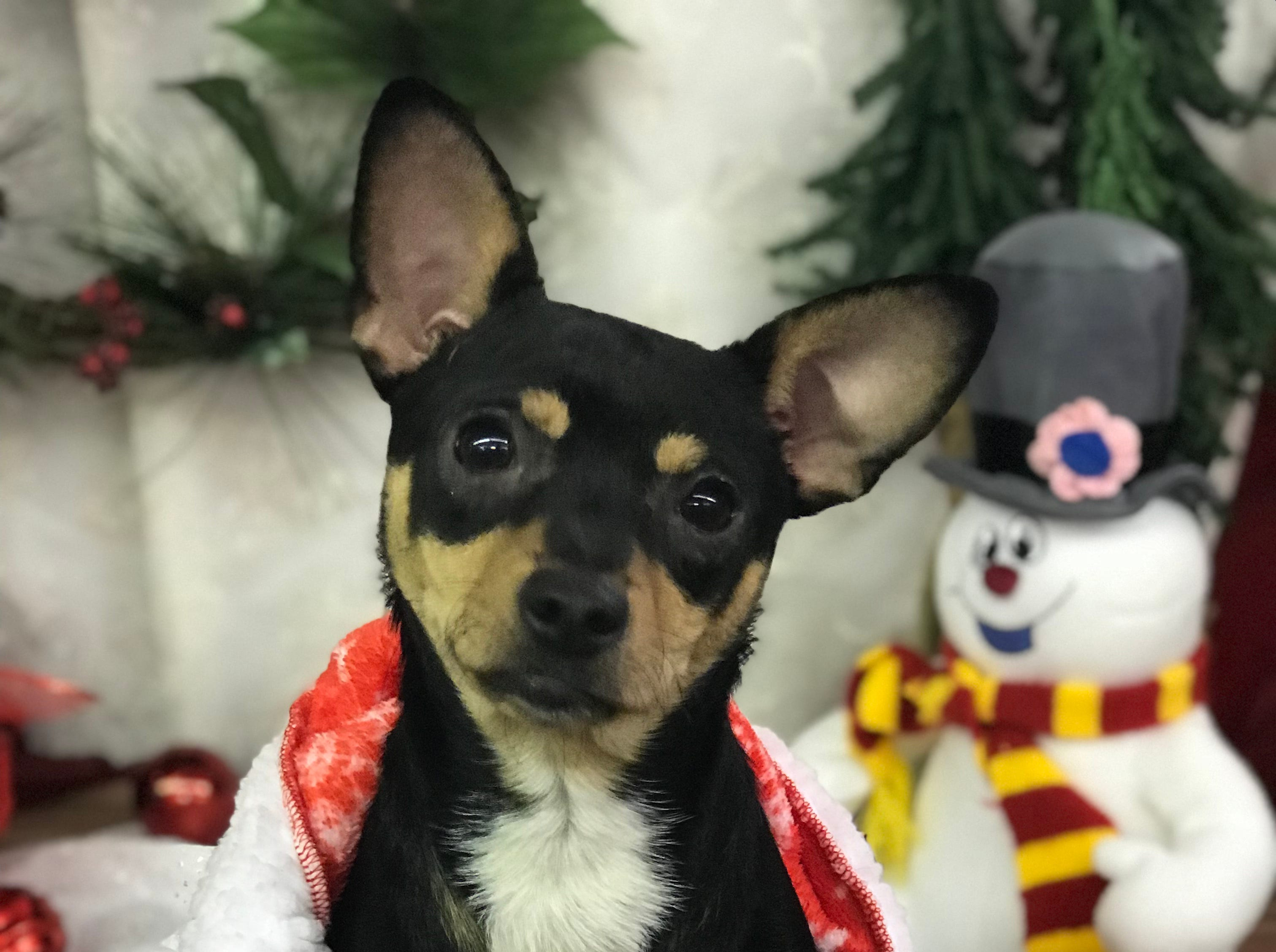 Kiwi is a 1-year-old, male Chihuahua/ terrier mix with a three-quarter tail. Kiwi does well with other dogs and people, and is learning good leash manners. Visit Tails of Rescue Adoption Center, 981 Lake Blvd., Redding. Call 448-7444. Go to http://tailsofrescue.org.