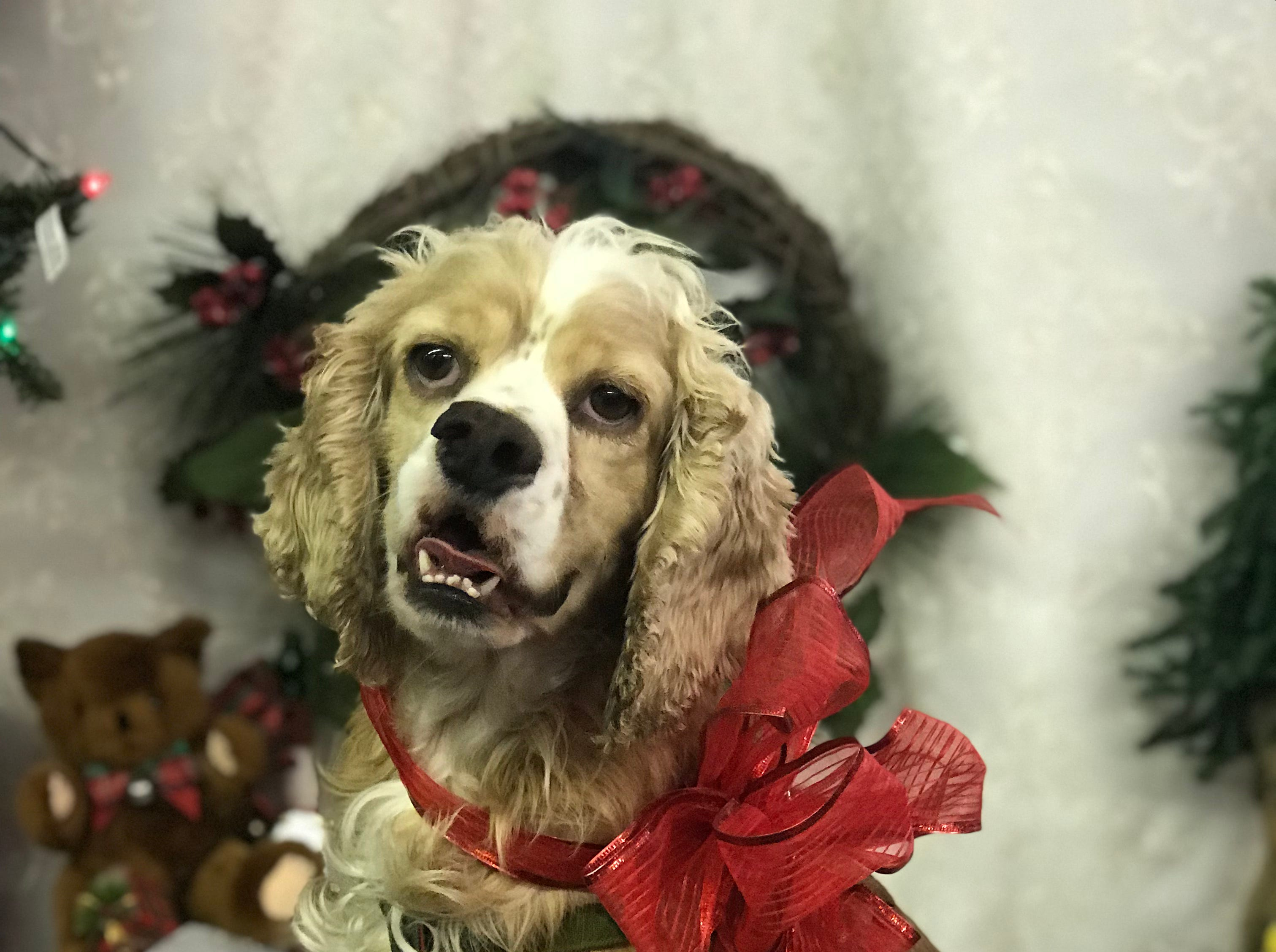 Joe is a 4- or 5-year-old, male cocker spaniel who has his natural tail. He does well with other dogs and is learning about cats. He walks on a harness. This sweet boy should bond well with his person. Visit Tails of Rescue Adoption Center, 981 Lake Blvd., Redding. Call 448-7444. Go to http://tailsofrescue.org.
