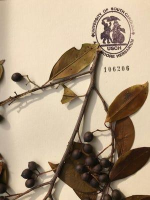 Cherry laurel, and all cherry species, belong to the genus Prunus.