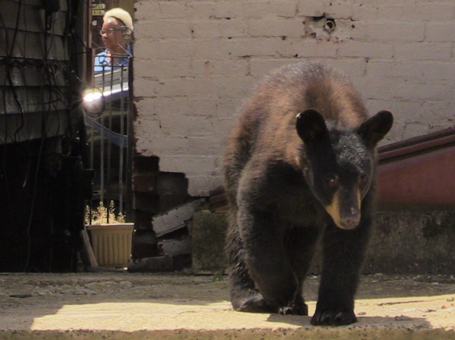 A young black bear roamed the streets of the Village of Haverstraw and was finally captured by the New York Department of Environmental Conservation on June 11, 2018.