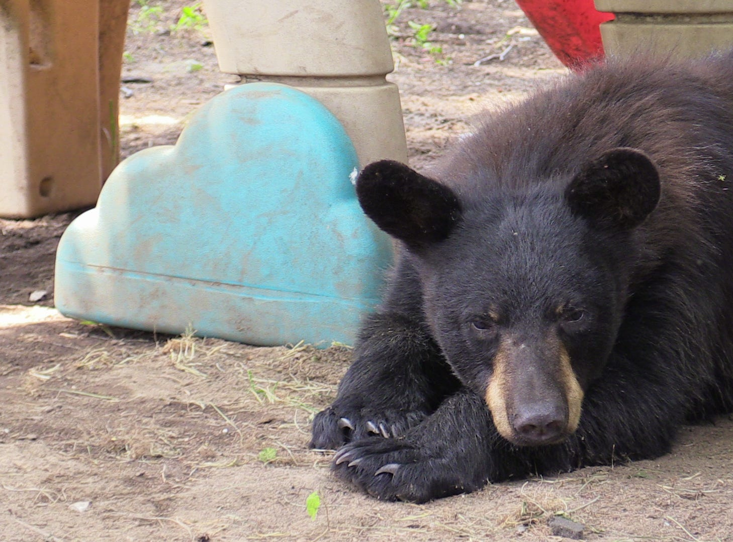 A young black bear roamed the streets of the Village of Haverstraw and was finally captured by the New York Department of Environmental Conservation on June 11, 2018.  The bear was tagged, measured and weigh before being transported to its new home in the Catskills.