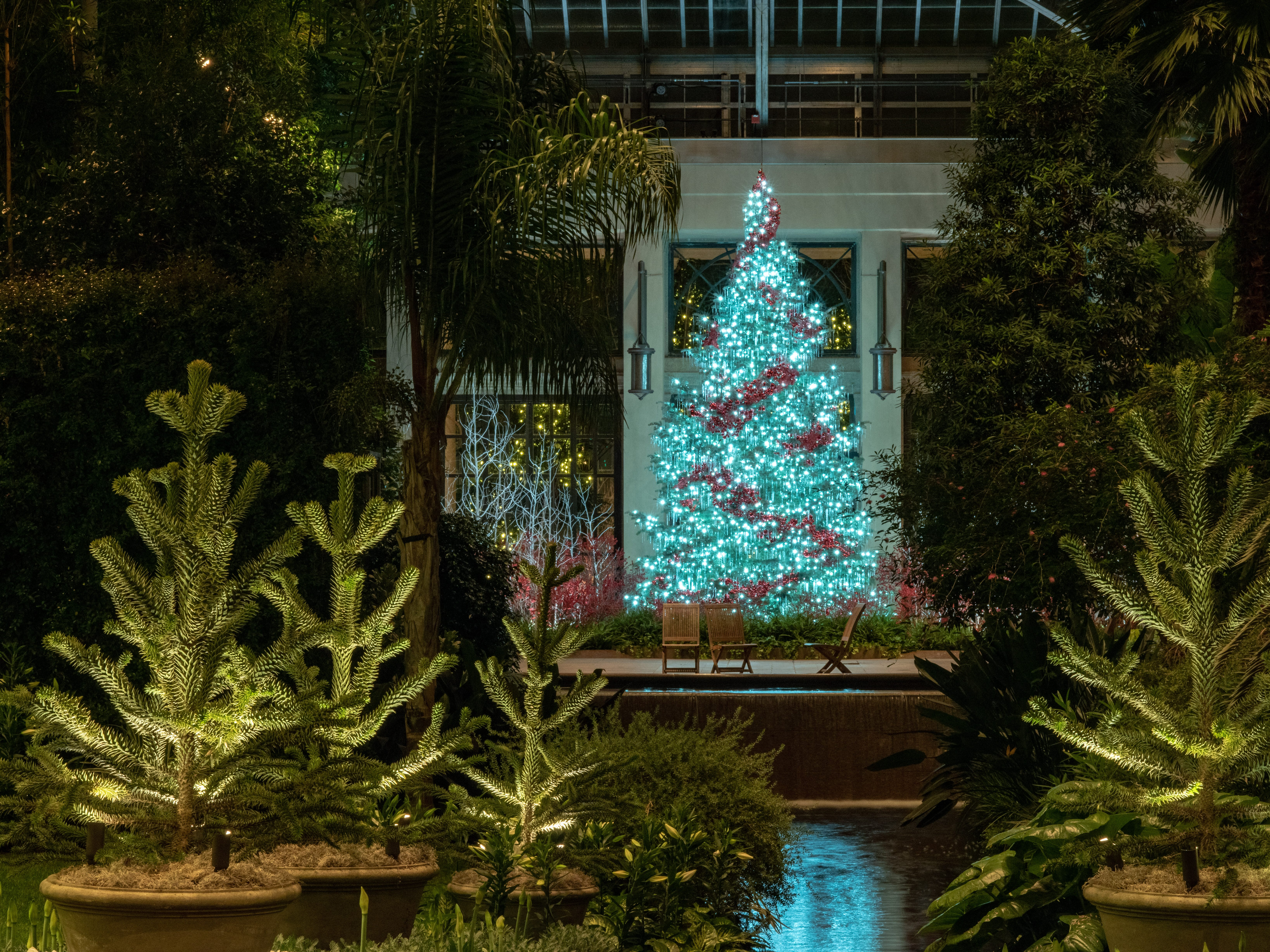 This 24-foot tall white fir in the Longwood Gardens conservatory features 6,000 icicles and a swath of red ornaments; that's monkey-puzzle tree in the foreground.