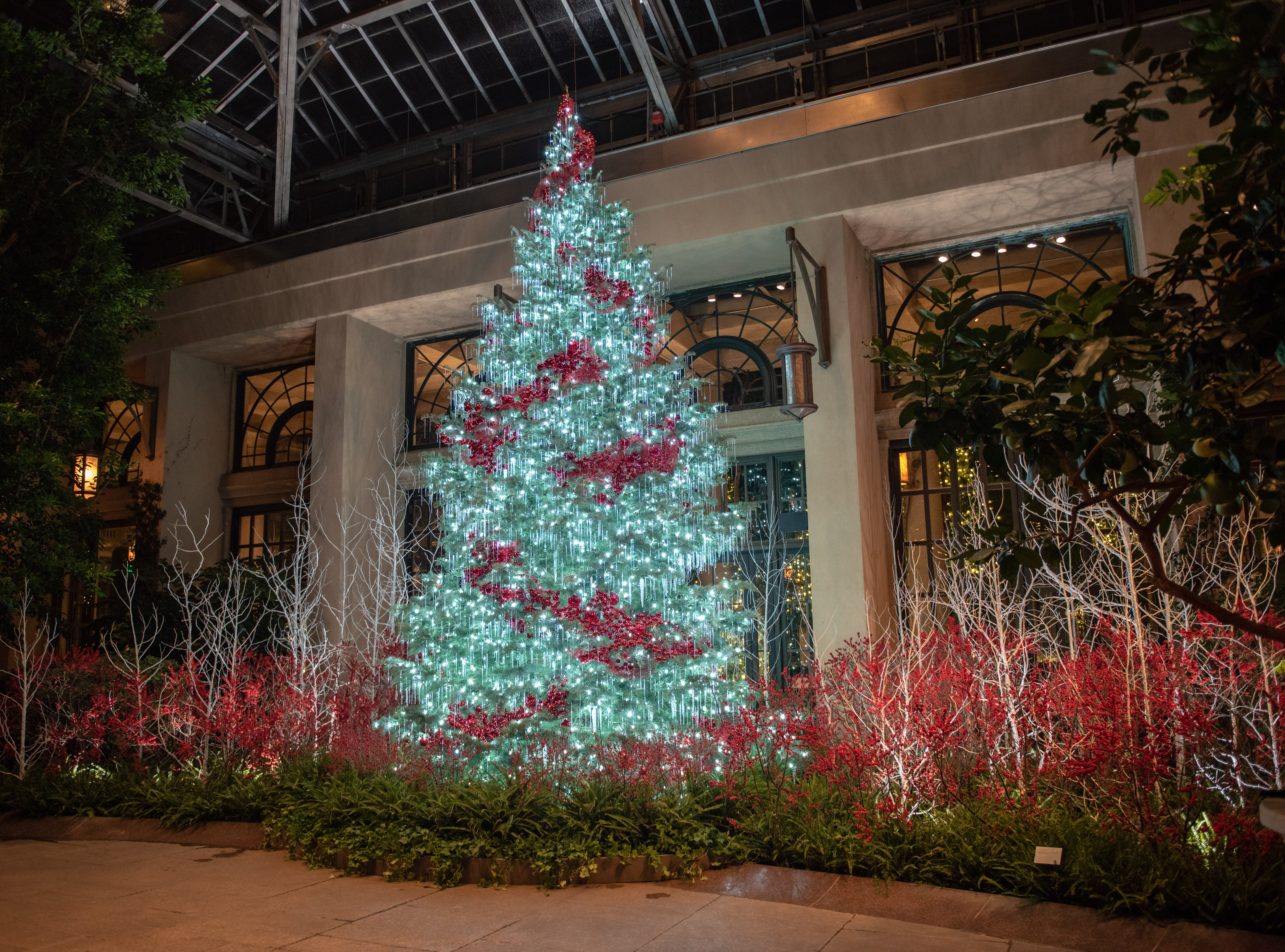 This 24-foot tall white fir in the Longwood Gardens conservatory is garnished with red ornament swaths and sits amid a woodland of white frosted trees and winterberry holly.