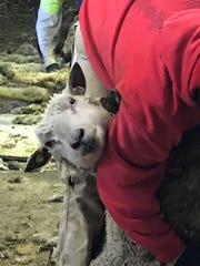 A young ewe peeks around the arm of Jacob Held as he shears the wool from her stomach.
