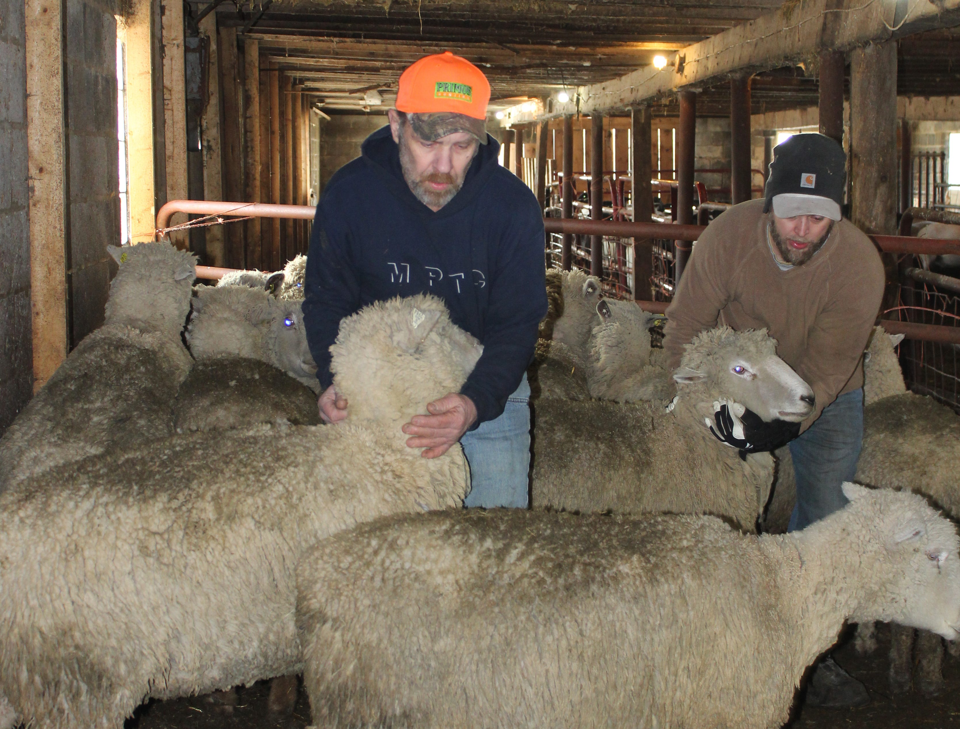 Steve and Greg Kottke round up a pair of ewes for shearing.