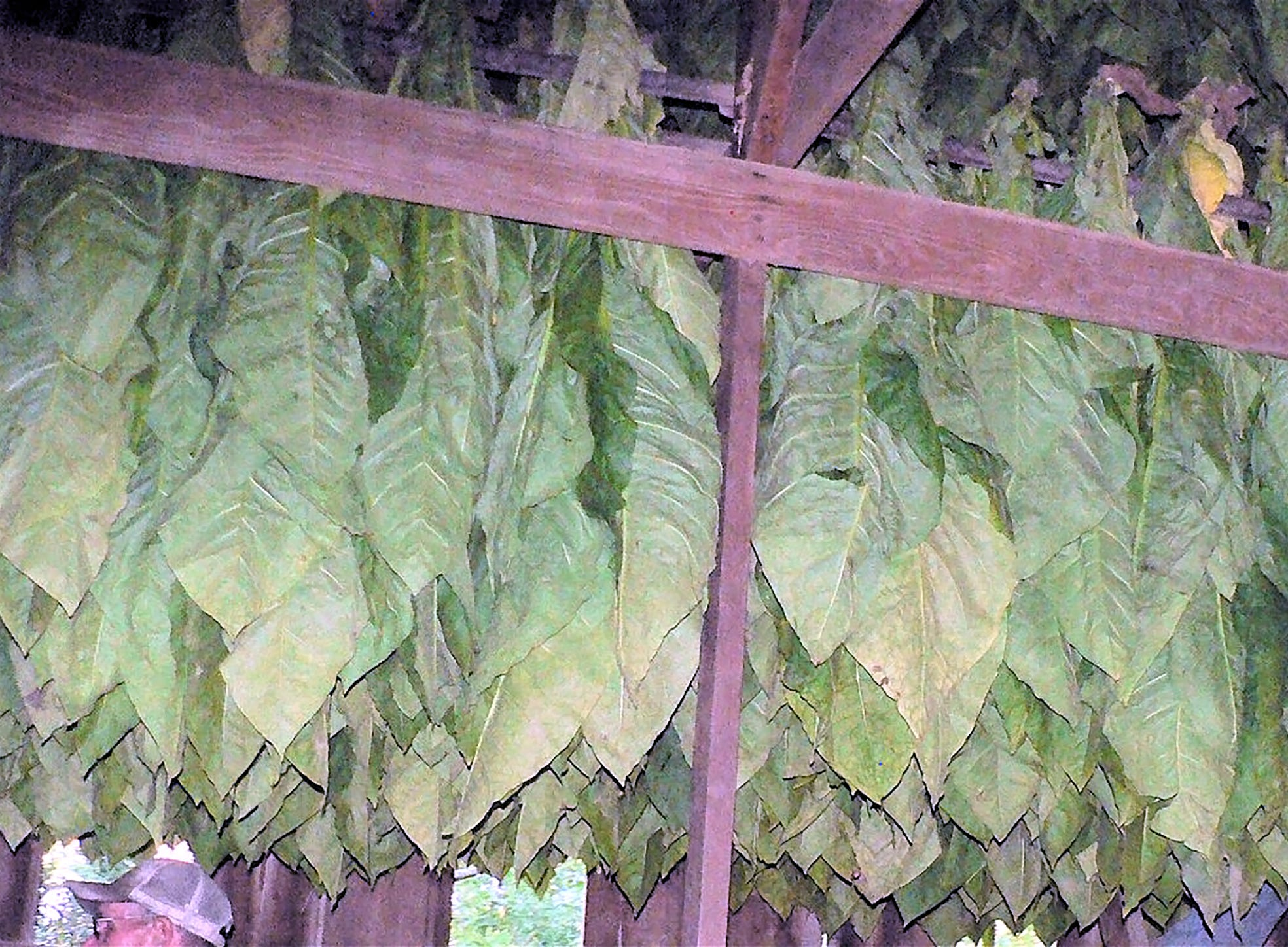 The tobacco is cured in the shed from August to December.