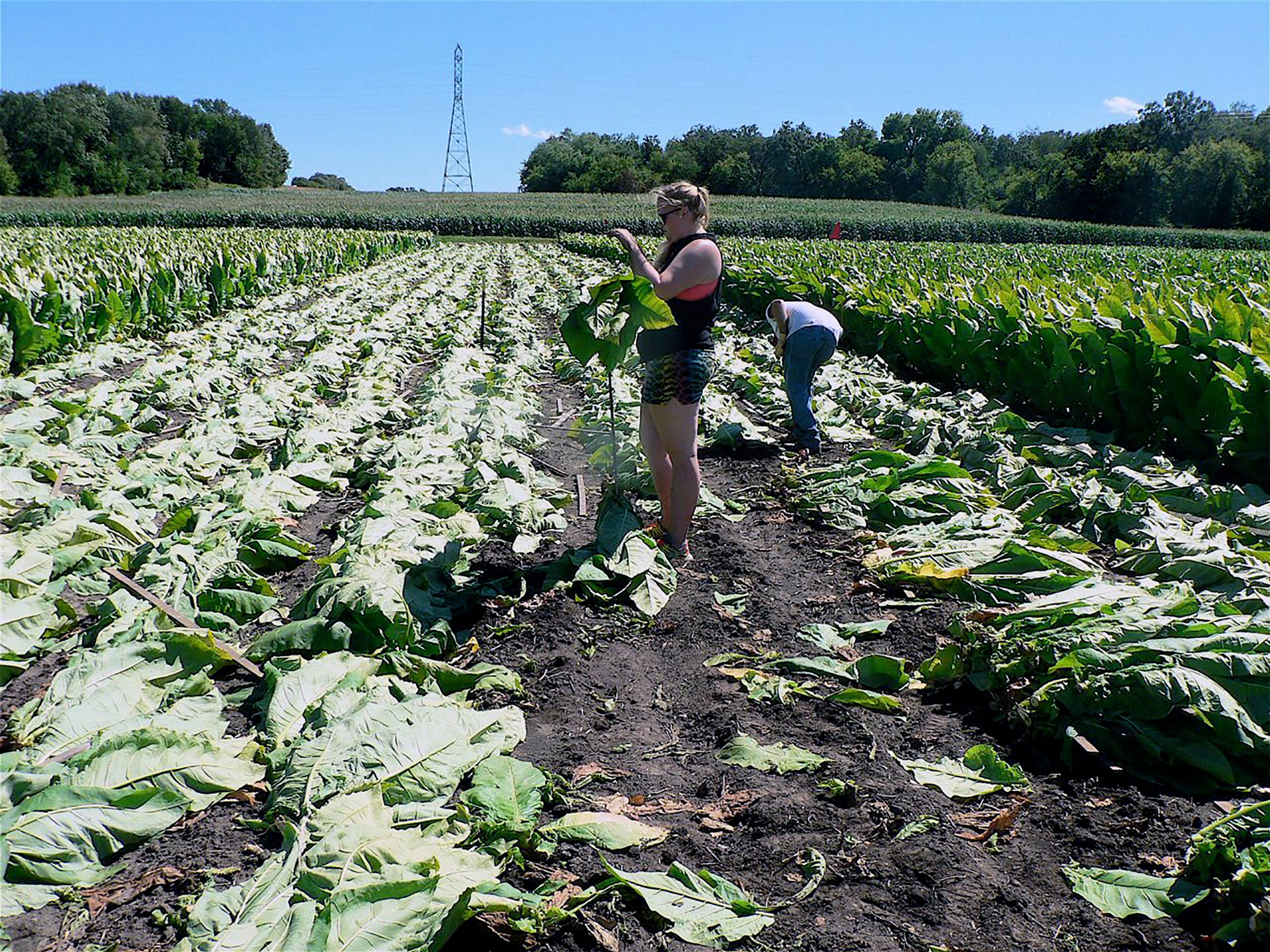 Tobacco in the field in August.