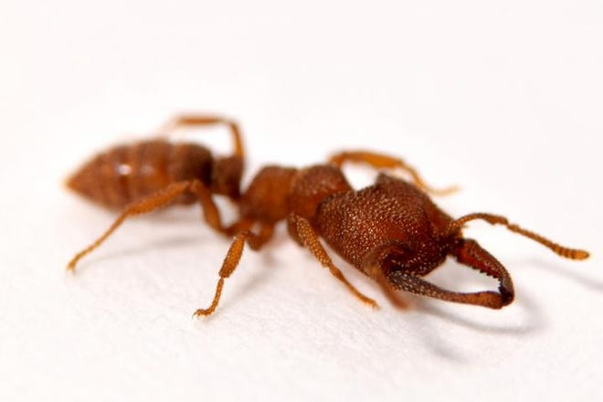 The mandibles of the Dracula ant, Mystrium camillae, are the fastest known moving animal appendages,, according to a new study.