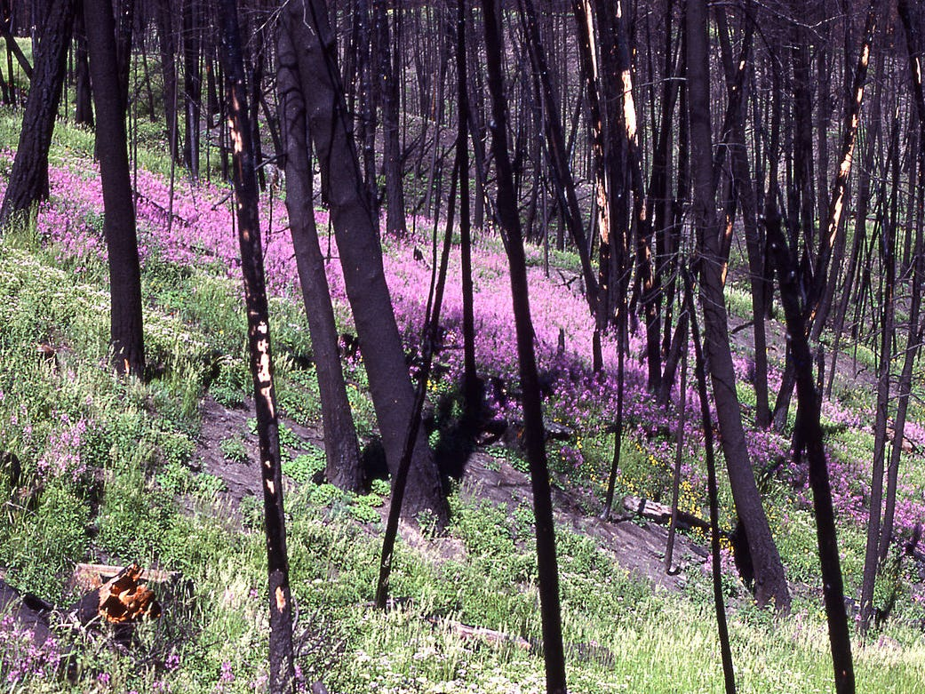 Fireweed and other flowers quickly grew after the Yellowstone fire.