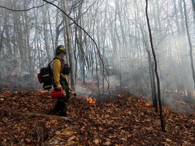 The Nature Conservancy Fire Crew member Jenna Danckwart uses a drip torch to ignite leaf litter during a controlled burn on the Pisgah National Forest. Scientist say controlled burns are an important tool in mitigating the effects of climate change.