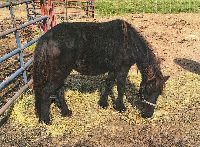 Ebony, a miniature horse, was among 25 starving and disease-ridden animals seized Dec. 4 from a petting zoo in northern Oakland County. The owner faces a possible prison term.