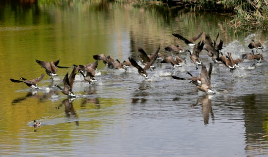 Canada geese take flight on the Kinnickinnic River just north of the Lincoln Avenue bridge in Milwaukee. In 2017 the Milwaukee Metropolitan Sewage District (MMSD) installed several aerators to mix more oxygen into the river in attempt to boost dissolved oxygen levels in the water for benefit of fish and other aquatic life.