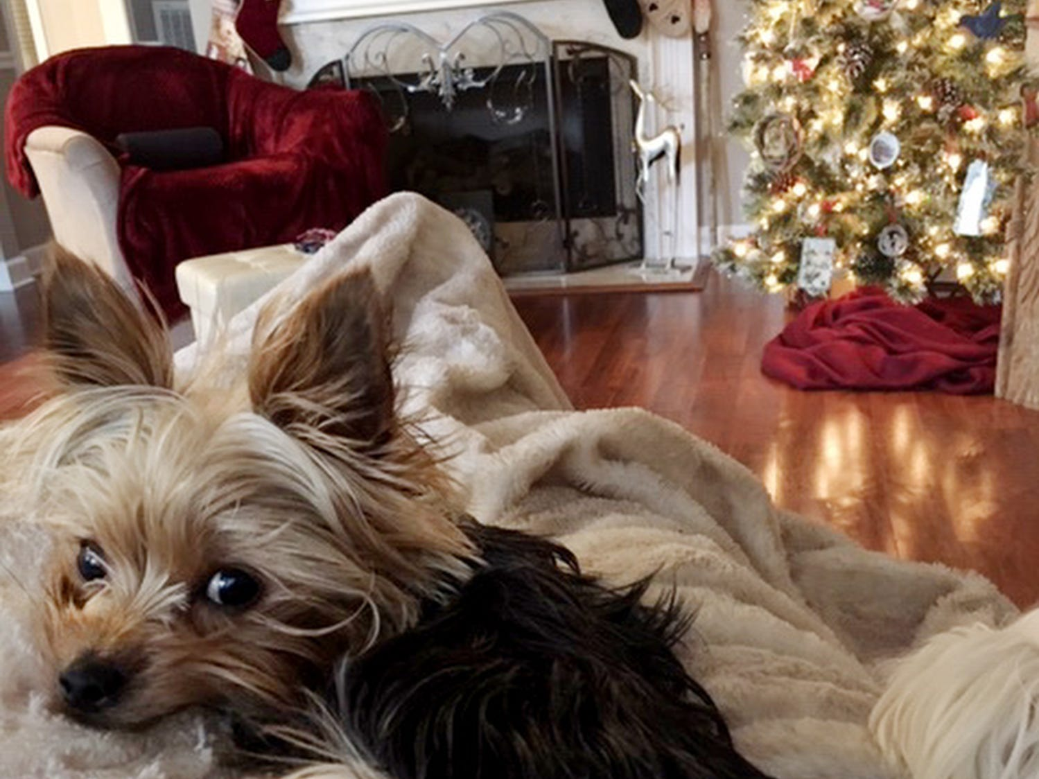 Debbie Bright of Franklin, Tenn., has  her Yorkie, Coco, on her lap in their den that is decorated for Christmas.