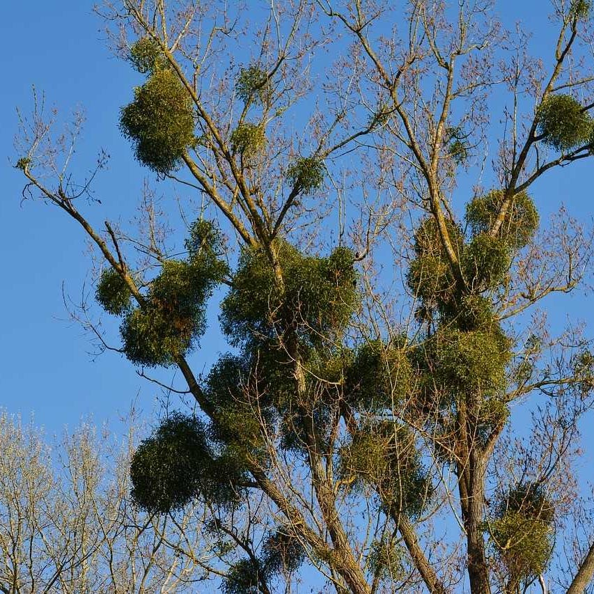 Mistletoe: The 'tree thief' strikes New Mexico