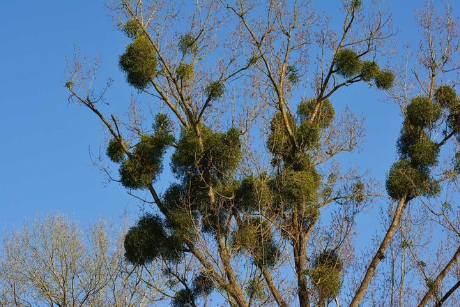 Clumps of the mistletoe parasite stand out like a sore thumb when deciduous trees are otherwise bare.