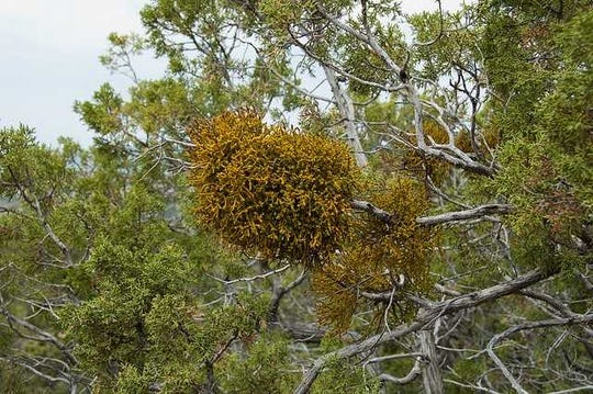 Juniper mistletoe takes over a helpless juniper host.