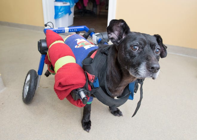 Cadillac, an 11-year-old pit and terrier mix, scoots around Thursday at the Safe Harbor Animal Hospital in Pensacola.