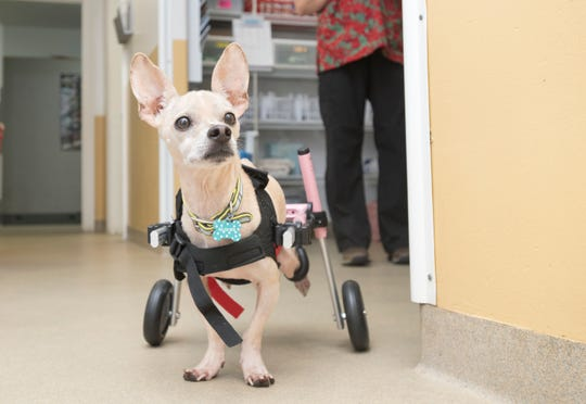 Riley, a 10-year-old Chihuahua mix, gets used to his doggie wheelchair Thursday at the Safe Harbor Animal Hospital in Pensacola.