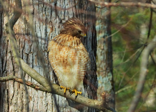 The common Cooper's Hawk will benefit from the preservation of farmlands.
