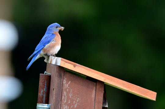 Bluebirds will benefit from the 9,000 acres of adjoining State Game Lands at Hawk Mountain.