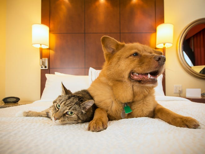 Many major hotel chains welcome animals, though of course there also are lots of rules and exceptions.