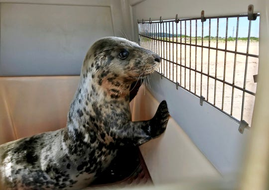 A 6-month-old female gray seal rehabbed from the Marine Mammal Stranding Center in Brigantine, peeks from his crate before she was released Monday afternoon at the Gateway National Recreation Area into the ocean off the coast of Sandy Hook, NJ. June 25, 2018. Sandy Hook, NJ