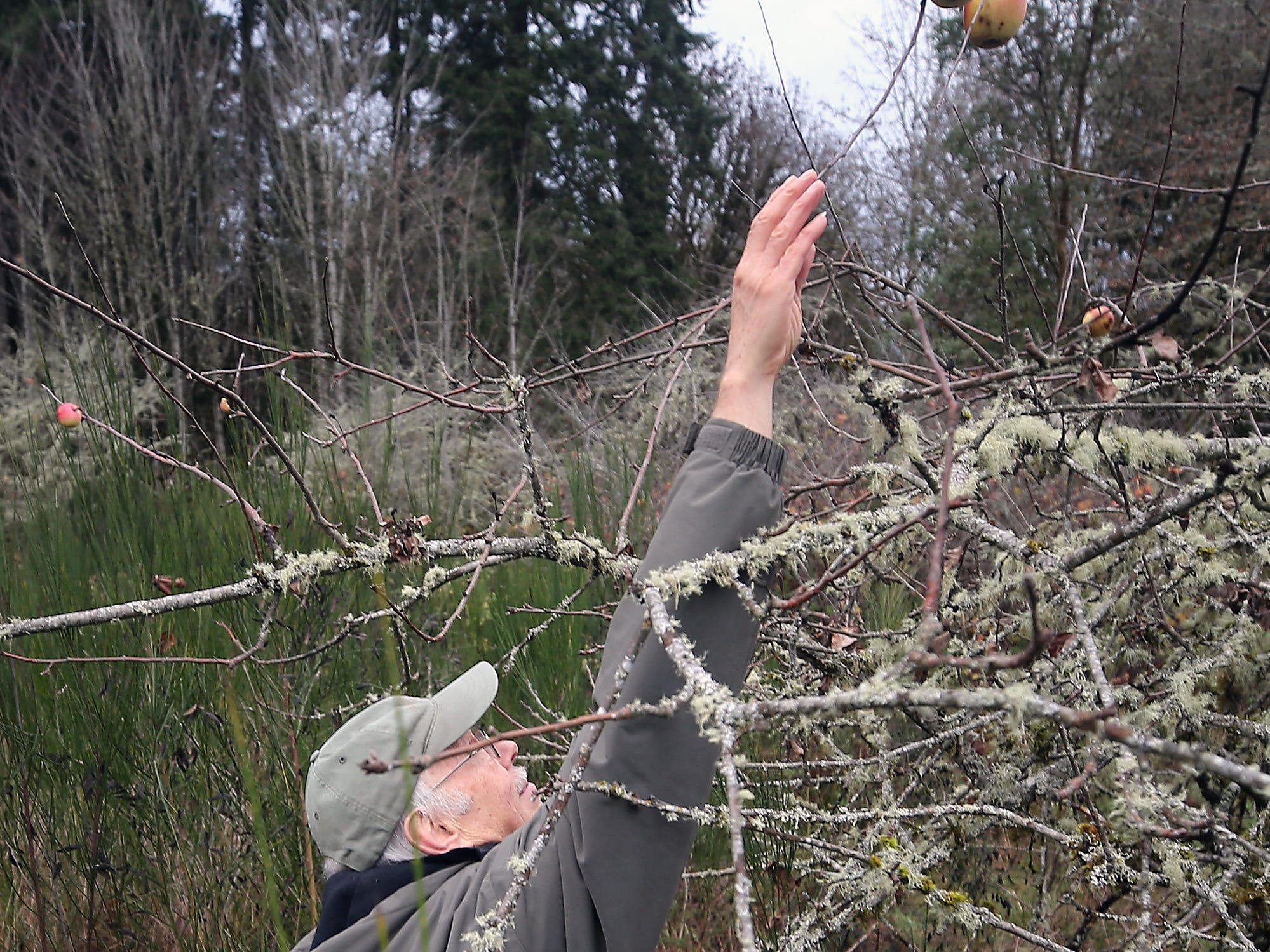 Jim Aho reaches for an apple high atop one of the old trees on the Avery homestead which Illahee Preserve is hoping to acquire, on Friday, December 14, 2018.