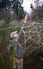 Jim Aho reaches for an apple in an orchard at the Avery homestead in Illahee on Friday. The homestead would be added to the Illahee Preserve property if funds can be raised to buy it.