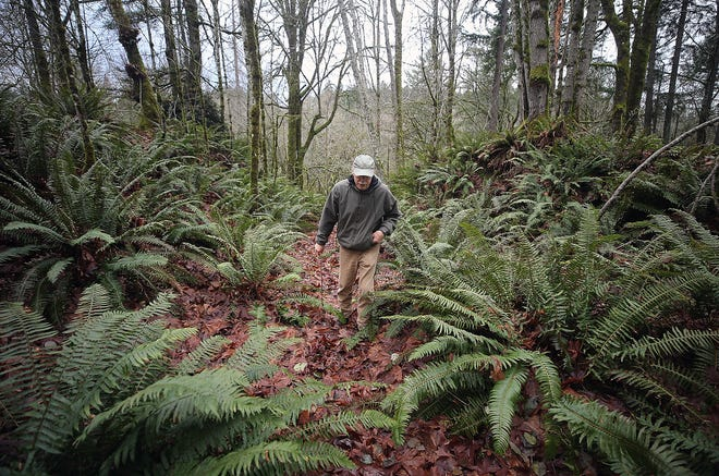 Jim Aho walks a trail in the Illahee Preserve on Friday. Aho and other members of a non-profit called Illahee Forest Preserve are organizing a fundraising campaign aimed at expanding the forested heritage park.
