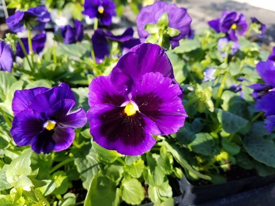 Pansies come in a variety of colors that produce flowers ranging in size from small to large.