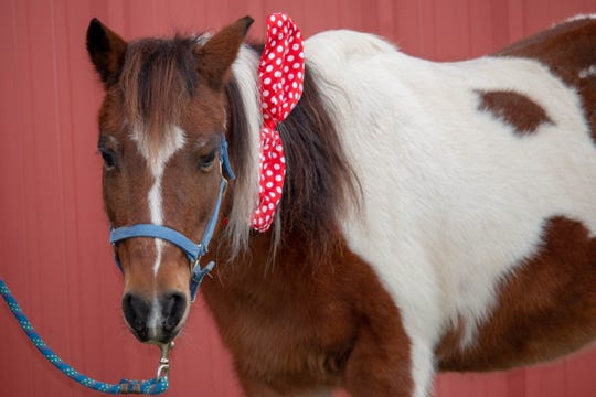 Scout, a brown and white paint pony mare, is one of five horses being sold by Winton Woods Riding Center in a sealed bid process.
