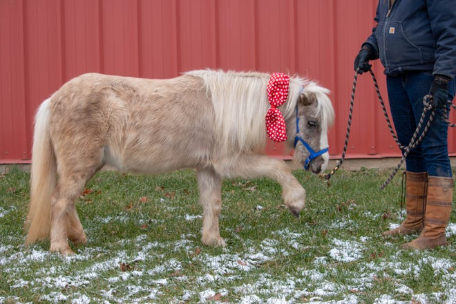 Treasure, a silver dappled miniature mare, is one of five horses being sold by Winton Woods Riding Center in a sealed bid process.