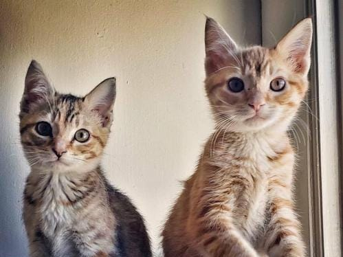Tara and Tink are 3-month-old siblings. They are good with kids and dogs! They are spayed and neutered, vaccinated, tested for FIV & FeLV, and microchipped. We still have lots of kittens available for Christmas adoptions. Come see them at our adoption fair on Saturday and Sunday 12-6 p.m. at West Town PetSmart. www.feralfelinefriends.org.