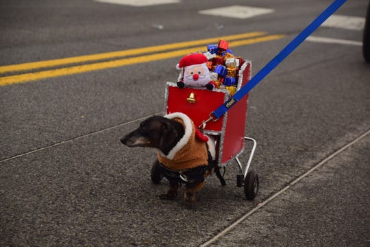 Mighty Max was a crowd favorite pulling a lightweight sleigh of his own at the Karns Community Christmas Parade Saturday, Dec. 8.