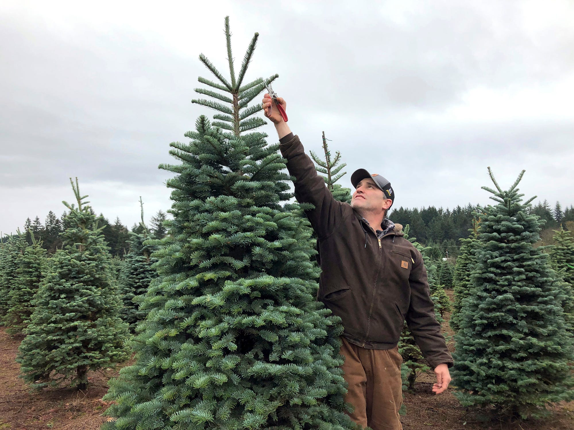 "In this November 2018 photo, Casey Grogan, owner of Silver Bells Tree Farm and president of the Pacific Northwest Christmas Tree Association, trims a noble fir at his 400-acre Christmas tree farm in Silverton, Ore. Christmas tree farmers are pushing back against the increasing popularity of artificial trees with a social media advertising campaign called ""It's Christmas. Keep It Real!"" (AP Photo/Gillian Flaccus)"