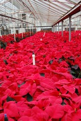 Poinsettias first came to the United States from Mexico in 1828 when Dr. Joel Poinsett, the first U.S. ambassador to Mexico, brought the plant back.