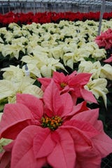 The poinsettia (Euphorbia pulcherrima) is an instantly recognizable sign of the Christmas season.