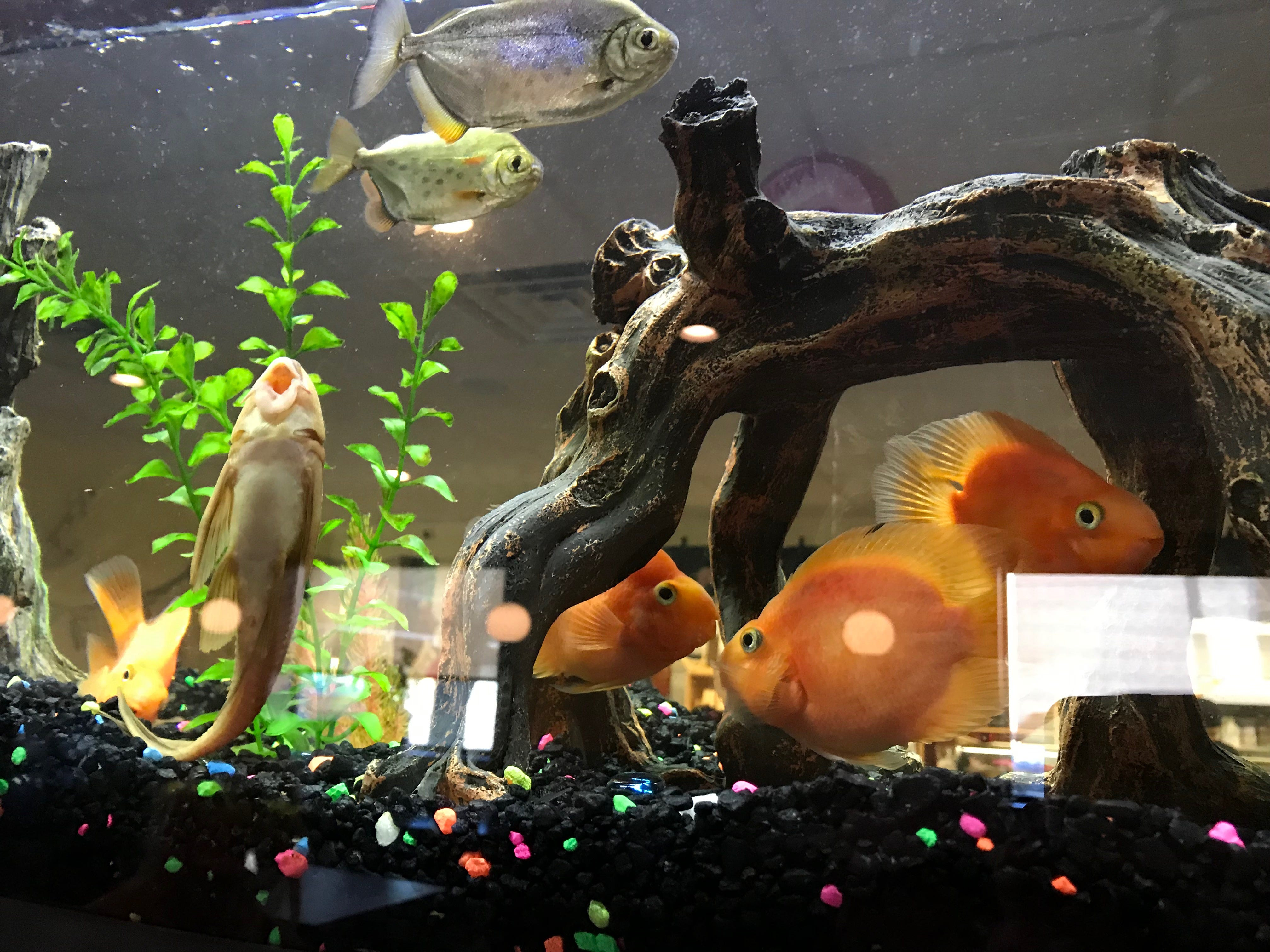 A large aquarium sits in the center wall at Sakura Sushi & Thai.