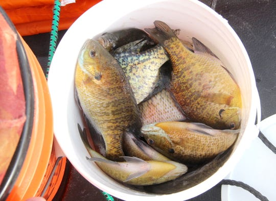An angler's bucket holds bluegills and black crappies.