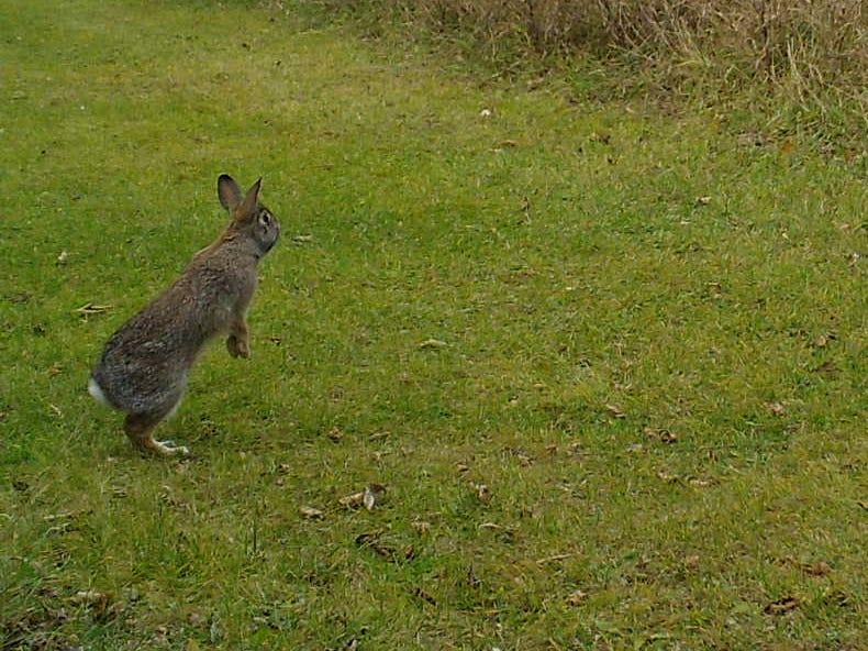 Cottontail Rabbit.