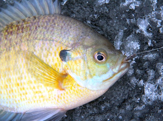 A bluegill caught by an ice fisherman lies on the ice of Lake Monona.