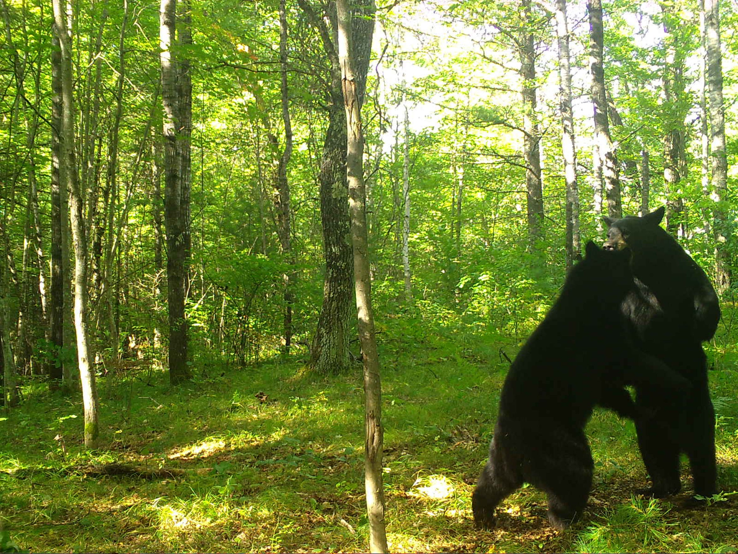 Wisconsin loves black bears, too.