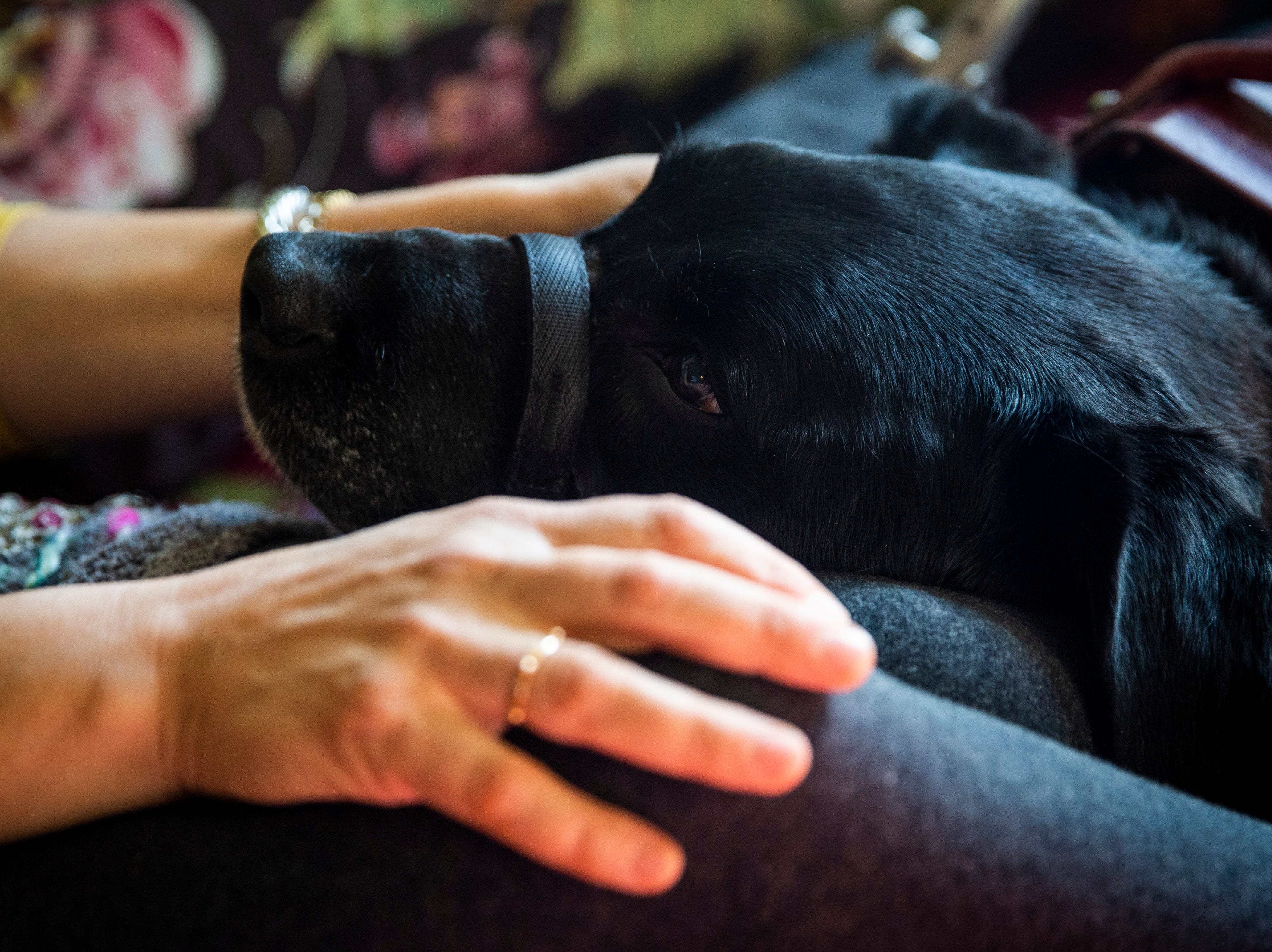 Lynn Hertel pets her service dog, Dutch, as he rests his head on her lap on Tuesday, Dec. 11, 2018, at her home in North  Naples. Hertel says there's nothing more comforting than a dog, and a large part of Dutch's job is to provide her with emotional support and to help her relax.