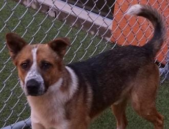 Jack is a sweet 2 year old shepherd mix.  He does well with other dogs and loves to play.  Jack is neutered and ready to go to his new home today.  He would do best in a home with no small children.