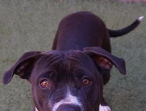 Alicia is a 1 year old pit mix.  She is looking for a new home.  She has lots of energy and likes to walk in the park.  She loves toys and would like to be a part of a family.  Stop in and meet Alicia today.