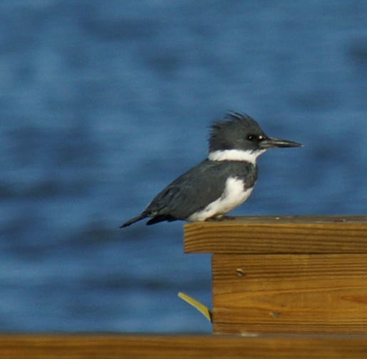 Belted kingfishers have a distinctive appearance