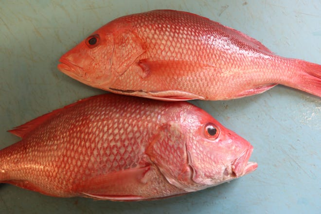 When buying Red Snapper, look for bright pink color throughout the fish, a blunt nose, and no black tips on the fins, advised Joe DiMauro, owner of Mt. Kisco Seafood.