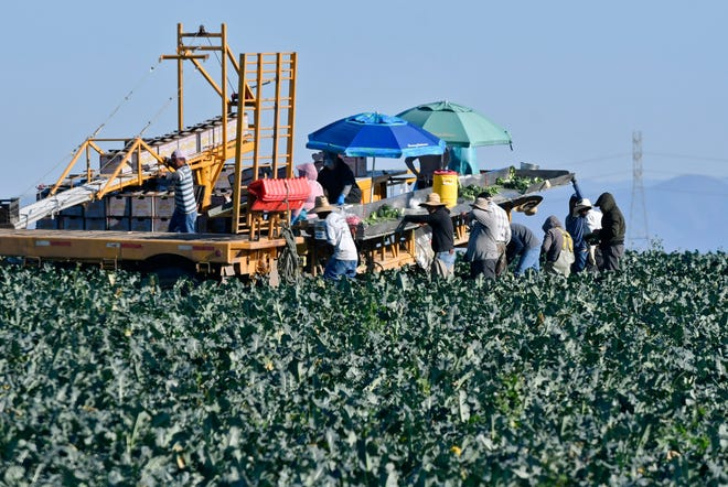 Farmworkers harvest broccoli in an Adams Brothers Farm field near Santa Maria, Calif., on Thursday, Dec. 13, 2018. U.S. health officials have traced a dangerous bacterial outbreak in romaine lettuce to at least one farm in central California. The Food and Drug Administration said 59 people have now been sickened by the tainted lettuce. Officials said a water reservoir at Adams Brothers Farms in Santa Barbara County tested positive for the bacterial strain and the owners are cooperating with U.S. officials.